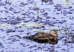 _MG_4337-Edit (Scott Sanford) Tags: canon eos 6d texas outdoor naturallight summer morning ef100400mmf4556lisiiusm birds wildlife animals nature anahuacnationalwildliferefuge