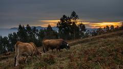 Desayunando (Carpetovetn) Tags: agua amanecer sunrise sonynex5n vacas paisaje landscape
