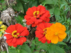 Zinnias and Cosmos (AmyWoodward) Tags: zinnia cosmos fantasticflower