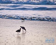 birds in the surf 194 A LR (bradleybennett) Tags: water river ocean stream creek beach shore shoreline line coast tide