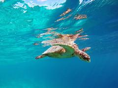 Unterwasser Schildkrte (FotoDB.de) Tags: schildkrte schnorcheln schwimmel sonne tauchen taucher unterwasser