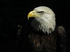 Bold Portrait (Mel's Looking Glass) Tags: portrait outdoor birdofprey