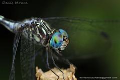Liblula (Denis Moura) Tags: libelula mogidascruzes meioambiente parquecentenriomogidascruzes brasil brazil denismoura denismourafotos ecossistema ecologia inseto