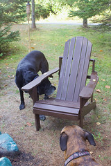 40/52/16 Biscuit, Biscuit, Where is the Biscuit? (Hodgey) Tags: dogs ralph boxerx josh lab adirondackchairs maine 52weeksfordogs chairchallenge