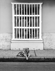 Friendly view (1jonathan1) Tags: dog window street photography love blackandwhite animal wall cartagena cartagenadeindias sidewalk old house sun light morning walk perro calle