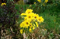 1609_YashE35GT_025.jpg (OldChE) Tags: coloryashinondx45f17 film flowers harvesterpark kodakgold200 yashicaelectro35gt