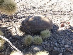 Desert Tortoise (Gopherus agassizii) (Camden S. Bruner) Tags: deserttortoise gopherusagassizii riversidecounty ca california chuckwallamountainswilderness bureauoflandmanagement blm endangeredspeciesact threatened male adult large