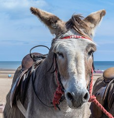 DSC_0105 (3) (gillkenn) Tags: ch donkey seaside mablethorpe