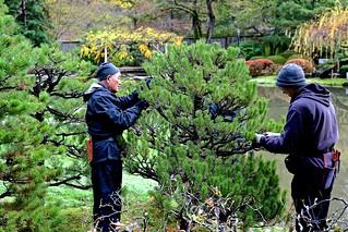 Pruning the Black Pine