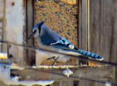 Blue Jay 2 (~nevikk~) Tags: birds windowshot neighborsyard birdfeeder southwindowsnowbirdsetc11192016