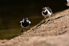 I want food! (Luke6876) Tags: magpielark bird animal wildlife australianwildlife