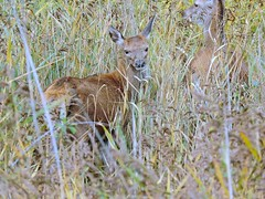 Red deer (deannewildsmith) Tags: deer earthnaturelife chasewater