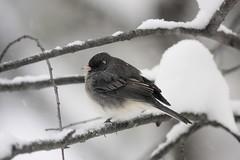 Bird in the snow (alex ranaldi) Tags: bird snow winter syracuse
