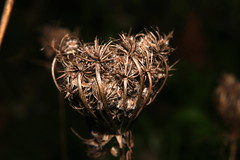 Beauty of decadence #5 (LaDani74) Tags: macro nature wildflower stilllife closeup plant autumn dried flower dry detail