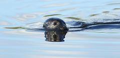 Making waves.... (Cosper Wosper) Tags: commonseal rivertone somerset water seal ripples waves