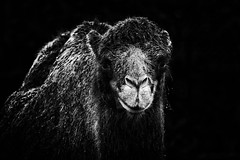 The Wet Camel Look (Alfred Grupstra Photography (bussy until 30 octobe) Tags: bw camel animal blackandwhite bokeh amsterdam noordholland nederland nl lowkey