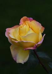 DSC_3191 (PeaTJay) Tags: nikond750 reading lowerearley berkshire macro micro closeups gardens outdoors nature flora fauna plants flowers rose roses rosebuds