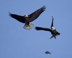 2 eagles flying fish (jimbobphoto) Tags: fish fly flying bird eagle baldeagle pursue maryland attack susquehanna