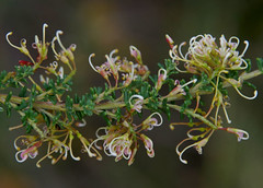 Grevillea murex, Kings Park, Perth, WA, 02/09/16 (Russell Cumming) Tags: plant grevillea grevilleamurex proteaceae kingspark perth westernaustralia