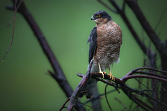 Still Raining! (Mr F1) Tags: sparrowhawk stillraining johnfanning wild bop birdsofprey wet dull detail dark forest woodland scotland uk raptor accipiternisus madmax