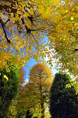 My goodness you're beautiful in the sun ...... (Idreamofpies) Tags: chester cheshire england uk tree leaves leaf fall trees branch branches blue yellow grosvenor park united kingdom britain canon idreamofpiesphotography autumn autumnal season trunk cloud sky walk portrait nature flora