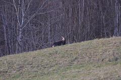2.12.16. Hee komm zurck. (dreistrahler) Tags: luchs baselland eap swiss airshows zoobasel langeerlen zrh natur hunter fcbasel fasnacht blche