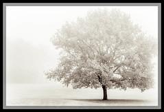 Tree in the Fog (lonobi) Tags: panasonicfz1000 kameras schwarzweis sonydschx20v 2016 pflanze flickr baum