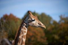 profil de girafe (rondoudou87) Tags: girafe parc zoo reynou profile nature natur wild wildlife pentax k1 automne autumn brilliant