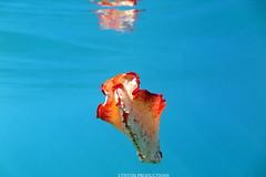IMG_0198 copy (Aaron Lynton) Tags: spanish dancer snorkel scooter maui hawii hawaii canon g1x spanishdancer turtle honu tako octopus ocean animals papio yellowspotpapio starfish
