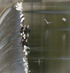 Less Crowded Now (gbglide) Tags: nature wildlife birds egrets greategrets gulls ringbilledgulls cormorants doublecrestedcormorants mottlake mottlakedam steppingstonefalls flint michigan eborn bornholtz