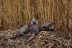 2 for 1 special otter (Chris B@rlow) Tags: eurasianotter lutralutra northumberland mammal otter wildlife nature uknature canon7d sigma150700 canon outdoors animal