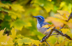 Blue and Yellow (Aaron_Smith_Wolfe_Photography) Tags: scrubjay carsoncity sierranevada fall colors yellow blue