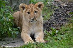 African lion cub - Olmense Zoo (Mandenno photography) Tags: dierenpark dierentuin dieren animal animals belgie belgium bigcat cat big cub lion lions leeuw leeuwen lioncub leeuwtje olmense olmensezoo olmen balen