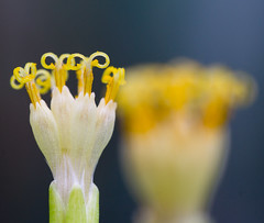 Kleinia neriifolia (Danyel B. Photography) Tags: kleinia neriifolia flower blume blossom blüte petal stamp stempel pollen macro makro close nah details bokeh dof sigma sony nature natur