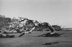 Driftwood beach, Jekyll Island (jbrighamphotography) Tags: nikon nikonf photomic kodak trix blackandwhite driftwood jekyllisland nikkor wideangle 400tx
