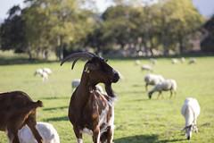 Horns (Nuria Ocaa) Tags: horns animal autumn nature goat browngoat altemporda emporda mountain greenisgood life farm mountains 50mm 60d fall sheeps farmlife beauty trees bokeh portrait goatportrait