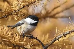 Mésange à tête noire - Black-capped Chickadee (Judith Lessard) Tags: tourbière bog mésange mésangeàtêtenoire chickadee blackcappedchickadee