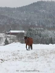 20161110098898 (koppomcolors) Tags: koppomcolors horse hst winter