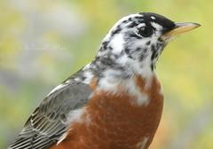"""Macro Mondays """"Mysterious Robin bird"""" (NaturewithMar) Tags: macromondays robin bird macro mysterious bokeh nikoncoolpix b700 ngc leucism leucistic"""