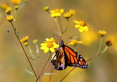 Monarch Butterfly #353 (Az Skies Photography) Tags: october 9 2016 october92016 10916 1092016 insect flying butterfly flyinginsect macro canon eos rebel t2i canoneosrebelt2i eosrebelt2i madera canyon arizona az maderacanyon maderacanyonaz wildlife sonoran desert sonorandesert monarch monarchbutterfly danaus plexippus danausplexippus
