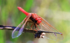 Cardinal meadowhawk (Sympetrum illotum) (TJ Gehling) Tags: insect odonata anisoptera dragonfly libellulidae meadowhawk cardinalmeadowhawk sympetrum sympetrumillotum pond canyontrailpark elcerrito