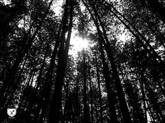 Bosque Pino (dan95_Zambrano) Tags: bosque naturaleza monocromatico luz byn arbobles magia misterio tranquilidad