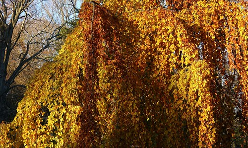 """Weeping European Beech • <a style=""""font-size:0.8em;"""" href=""""http://www.flickr.com/photos/52364684@N03/30958797241/"""" target=""""_blank"""">View on Flickr</a>"""