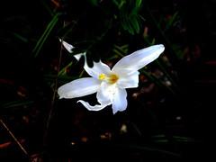 Flor do candomb-branco (espcie rara), em cerrado rupestre. Candomb-branco flower (rare species), in brazilian savanna. (leovigildo Santos) Tags: macro cerrado savannah rupestrian caneladeema candomb velloziaceae vellozia white flower flores flora nativa brasil gois minau