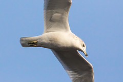 Ring-Billed Gull at the John Heinz Federal Wildlife Refuge on 12-4-2016-8 (Scott Alan McClurg) Tags: charadriiformes flickr ldelawarensis laridae larus autumn back backyard bird blue bluesky fall federalwildlifepreserve flap flight fly flying glide johnheinzfederalwildlifereserve life nature naturephotography neighborhood preserve refuge ringbilled ringbilledgull seagull sky smallbirds soar urban white wild wildlife yard