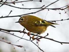 Goldcrest (robmcrorie) Tags: goldcreast bird birding nature warwickshire