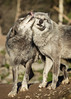 Sweet Kiss (patrickmai875) Tags: gelb timber wolf nature natur wildlife forest wald ngc national geographics fur fell love liebe kiss kuss romantic animal tier canon 5d mark iv 70200mm f28 art kunst