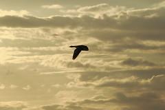 Air freedom (J. Roseen) Tags: bird fgel sky himmel natur nature clouds moln sweden sverige nordic norden hornborgarsjn jrgenrosn eos7dmkii goose gs ef 70210mm f4 macro