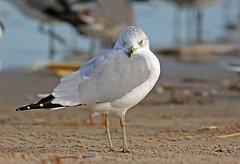 Ring-billed Gull (1krispy1) Tags: gulls ringbilledgull texasbirds
