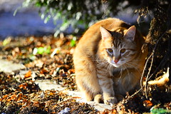 Squirrel (Corinne Lejeune Girot) Tags: chat roux red ginger cat automne autumn cureuil squirrel